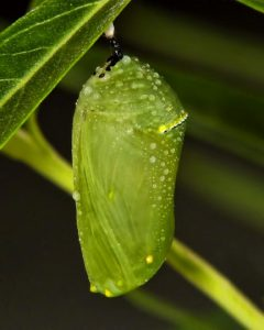 Green chrysalis