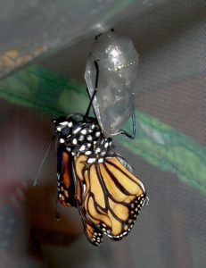 butterfly outside chrysalis